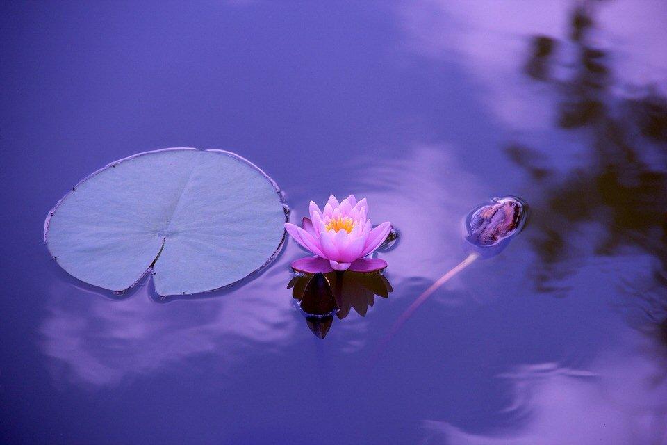 shun's article picture - lotus