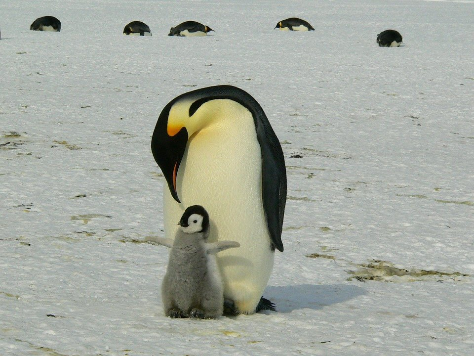 shun's article picture - penguin parent and child
