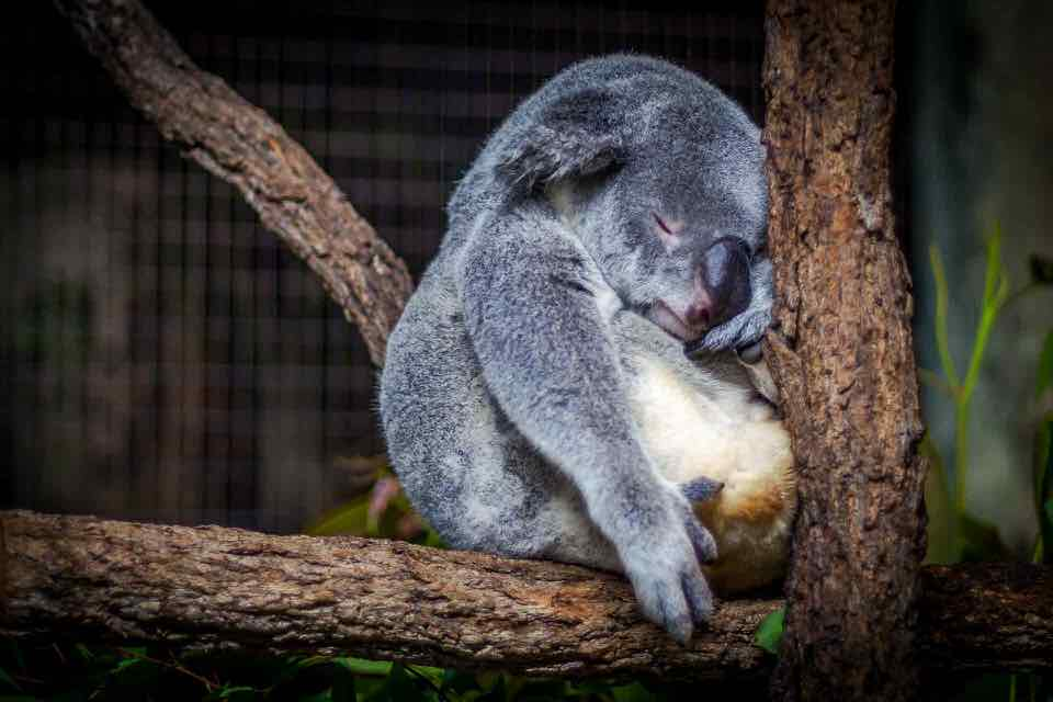 shun's article picture - sleeping koala