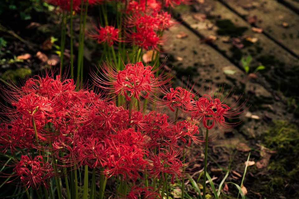 shun's article picture - cluster amaryllis
